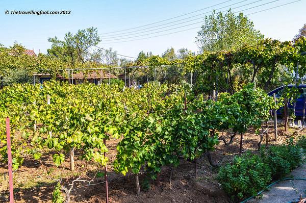 Greece-Vineyard