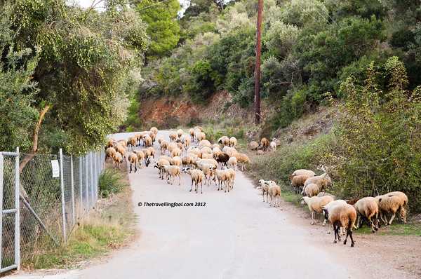 Greece-Sheep